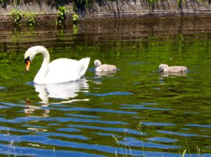 A family of swans in the palace canal